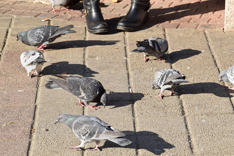 The pigeons eating some bread, cakes,. The detail of the street where a pigeons eating some bread, cakes royalty free stock image