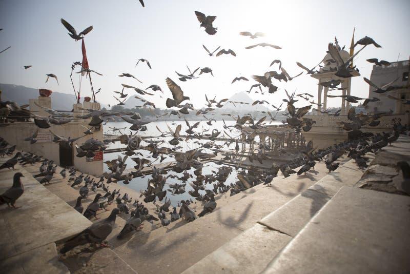 Pigeons effectuant le vol sur des étapes de temple image libre de droits