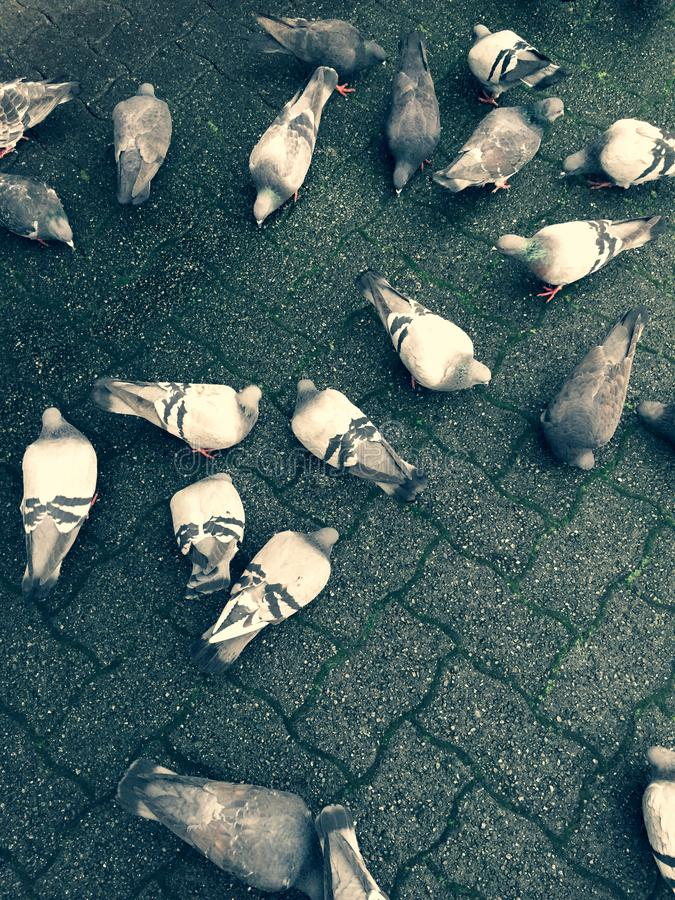 Pigeons feeding on the ground feeding over on top of city paving stones. royalty free stock image
