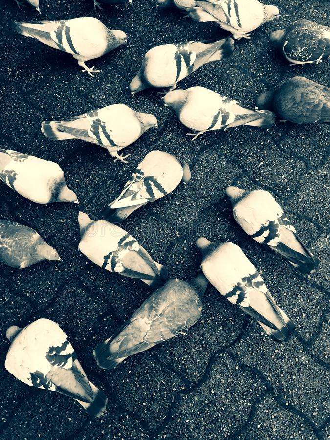 Pigeons feeding on the ground feeding over on top of city paving stones. stock images