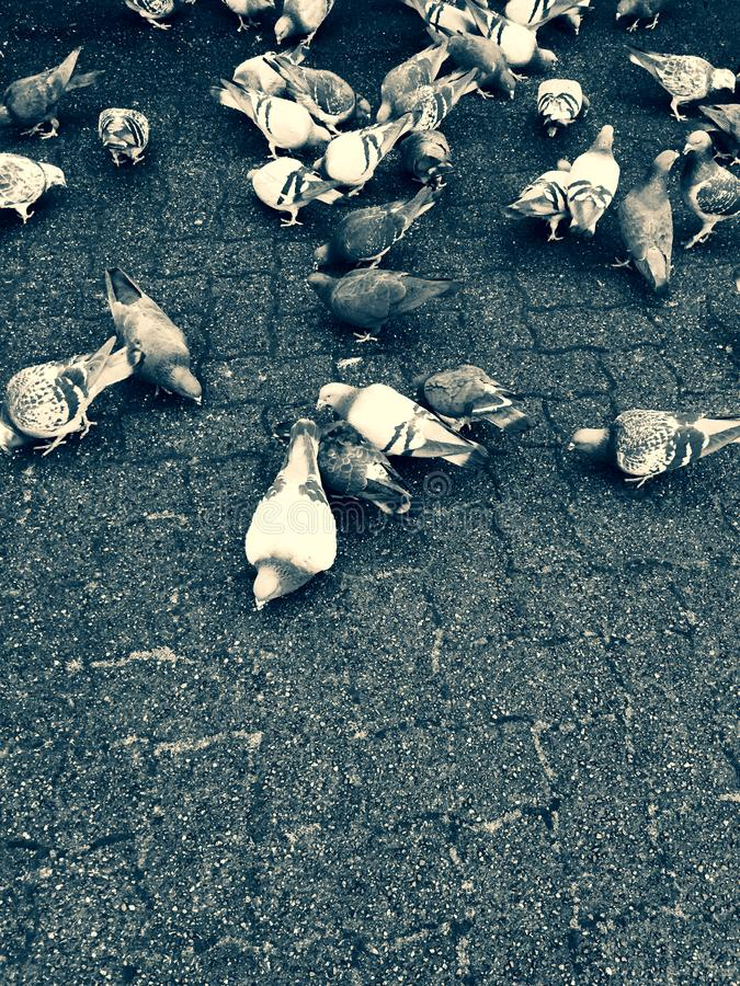 Pigeons feeding on the ground feeding over on top of city paving stones. royalty free stock photos