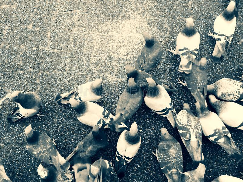 Pigeons feeding on the ground feeding over on top of city paving stones. stock image