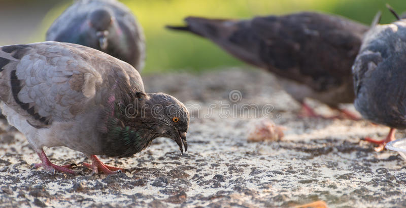 Pigeons feeding outdoor. Selective focus stock image