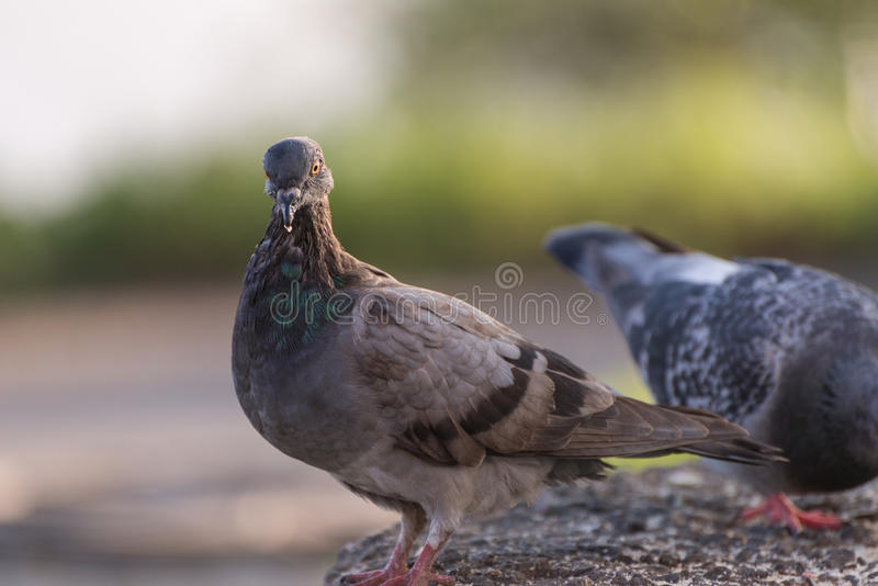 Pigeons feeding outdoor. Selective focus stock images