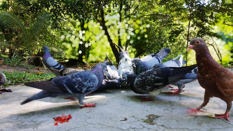 Pigeons feeding time natural beautiful scenic royalty free stock image