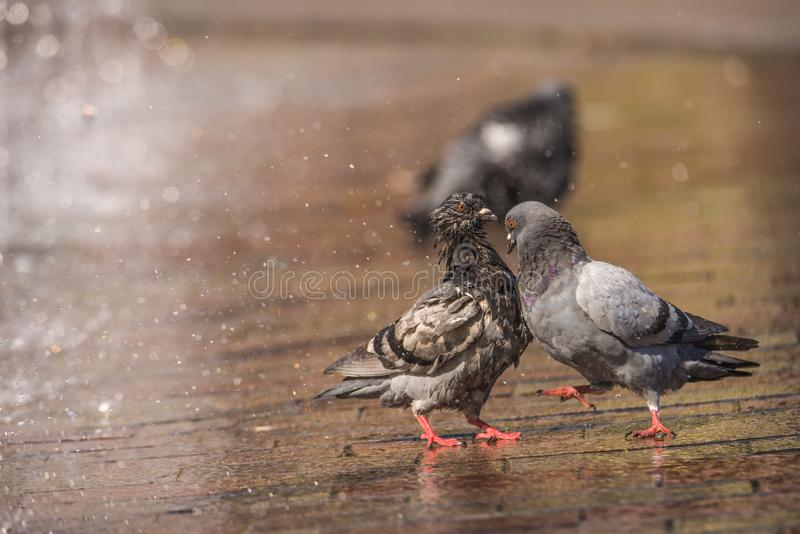 Male pigeon displays and struts after a female in the city, with a fountain in the background royalty free stock photos