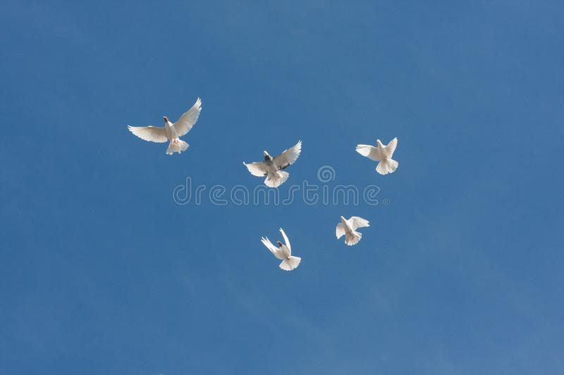 pigeons five pieces hover above ground. spreading stock photo