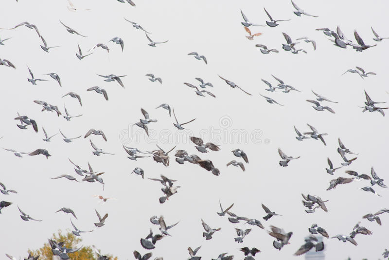 Download Pigeons fling stock image. Image of flying, animals, bird - 34327489