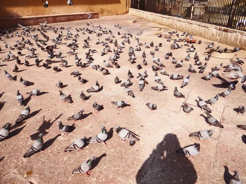 Pigeons-flock. Is eating seeds on the roadside stock images