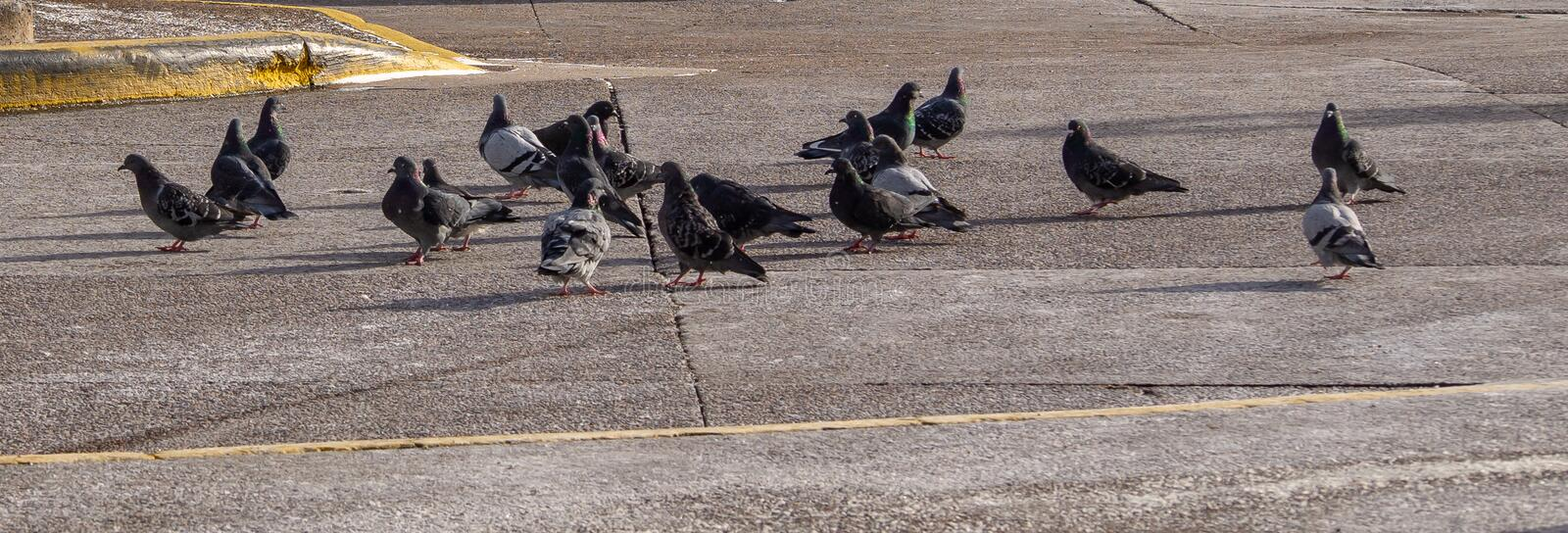 Pigeons flocking together on pavement in autumn sunshine. Pigeons flocking together on pavement in autumn sunshine, no people, no cars stock image
