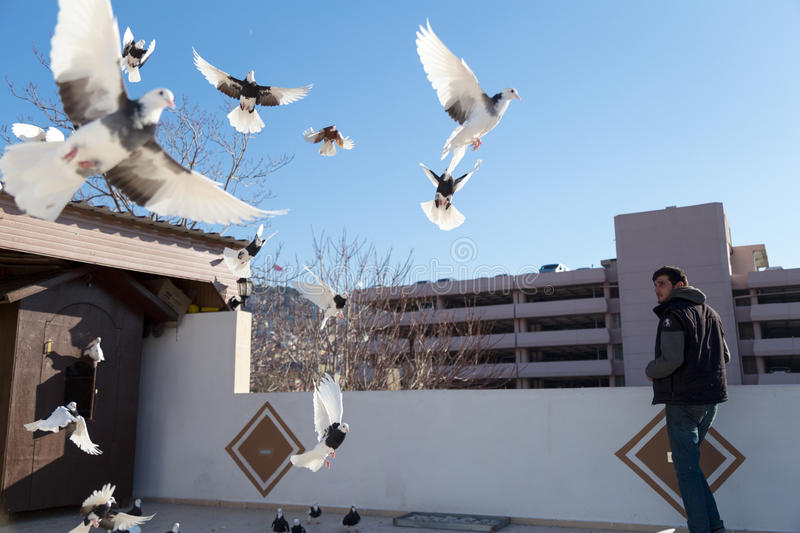 Pigeons flying outside their coops. Pigeon breeders are watching them. Izmir, Turkey-December 5, 2016 royalty free stock images