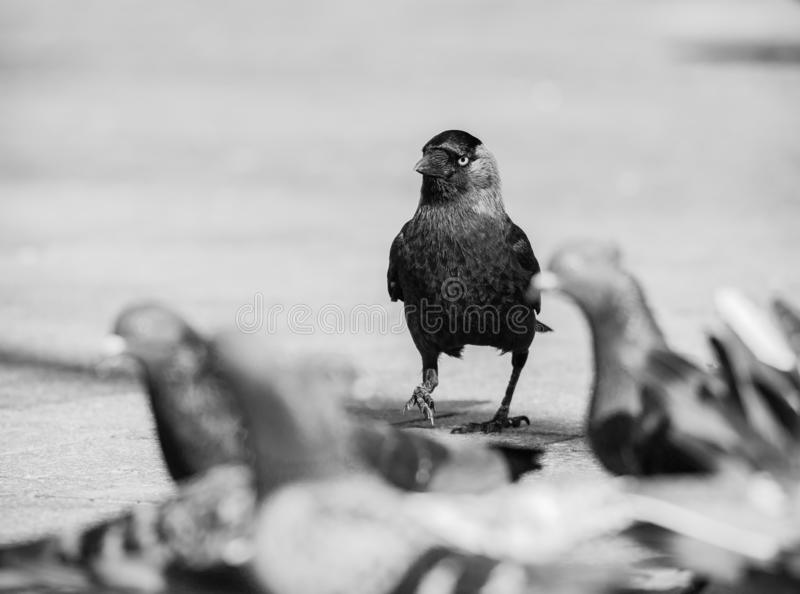 Black and white photo of a common Jackdaw watching as a flock of pigeons fight over food stock photos