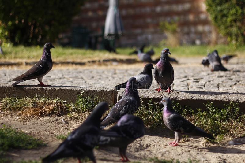 Pigeons are in the garden of the mosque. stock photo