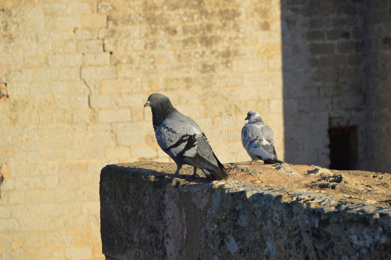 Pigeons at Castle Bellver royalty free stock photography
