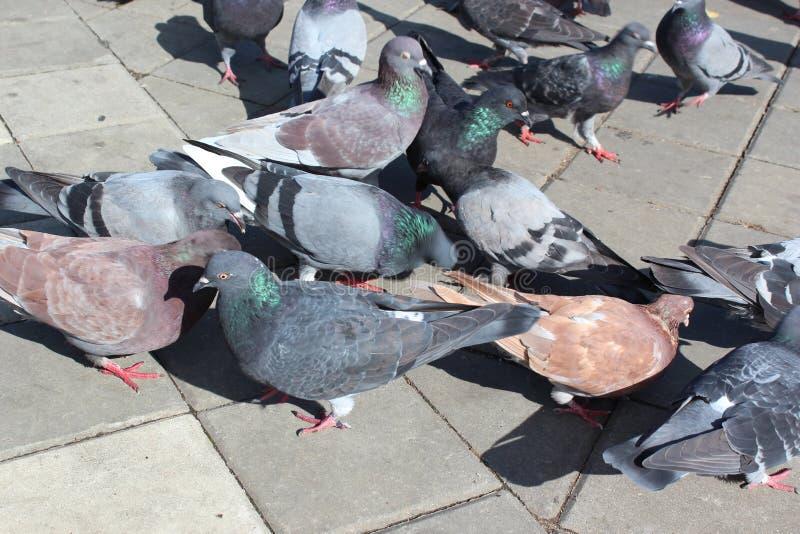 Pigeons royalty free stock photo