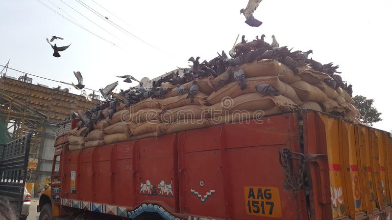 Pigeons having food in running truck stock images