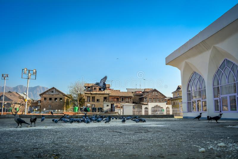 Pigeons of Hazratbal Shrine, Srinagar, Indien arkivbild