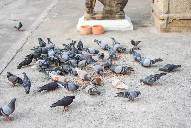 Pigeons mangeant de la nourriture dans les groupes photos libres de droits