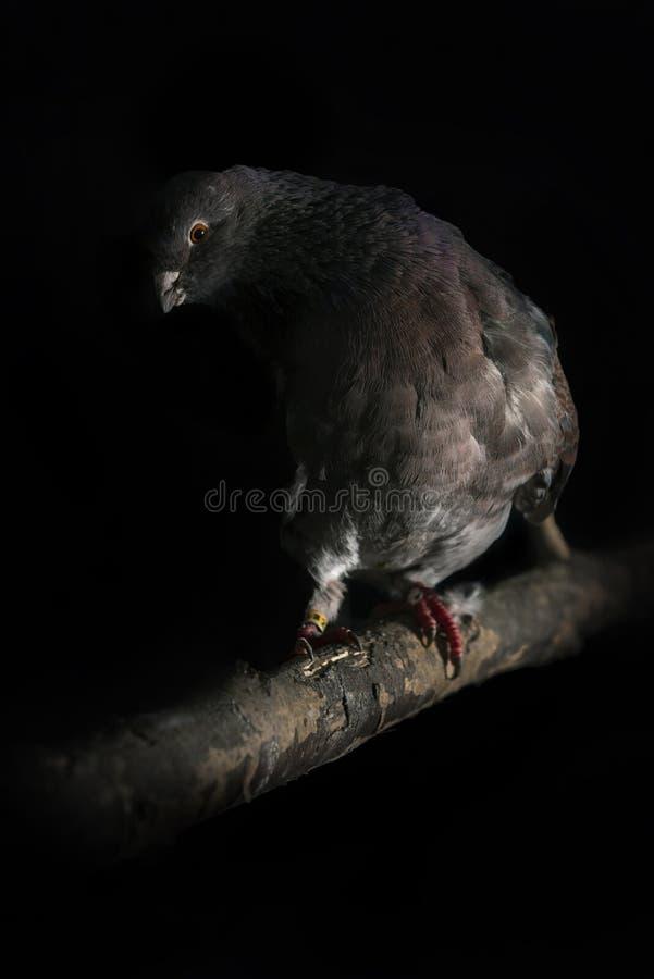 Pigeons multipliés à la maison photos libres de droits