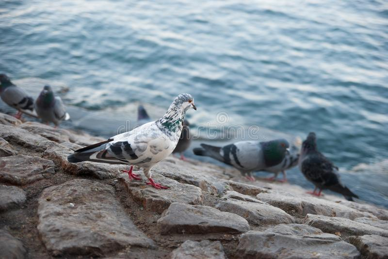 Pigeons near the sea stock photography