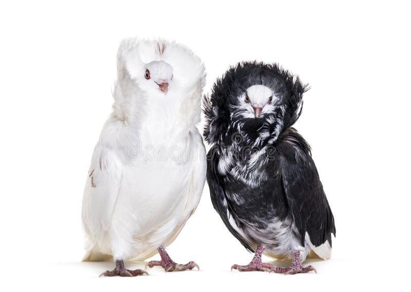 Pigeons noirs et blancs de Jacobin sur le fond blanc images stock