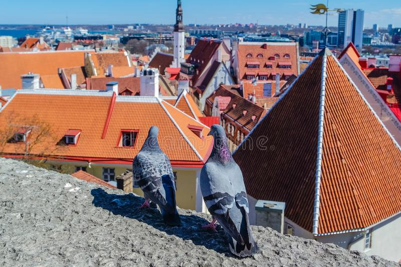 Pigeons on the observation deck of Tallinn stock images