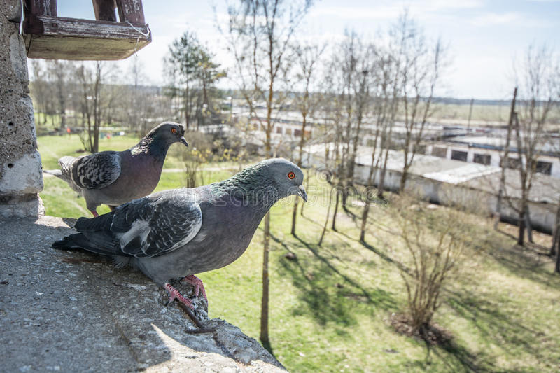Pigeons portrait, close up royalty free stock images