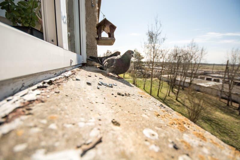 Pigeons portrait, close up stock photography