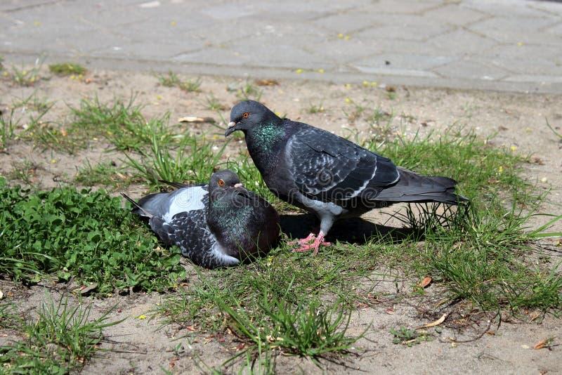 Pigeons près de masculin et de femelle photographie stock libre de droits