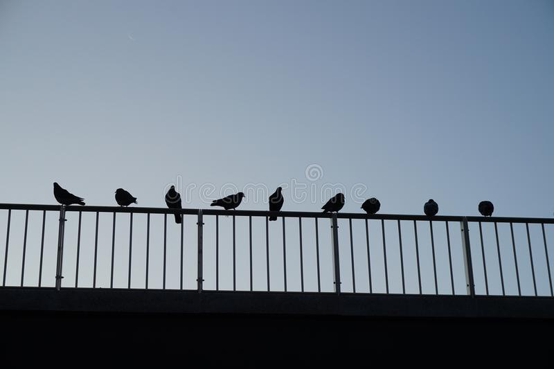 Pigeons on the railing stock images