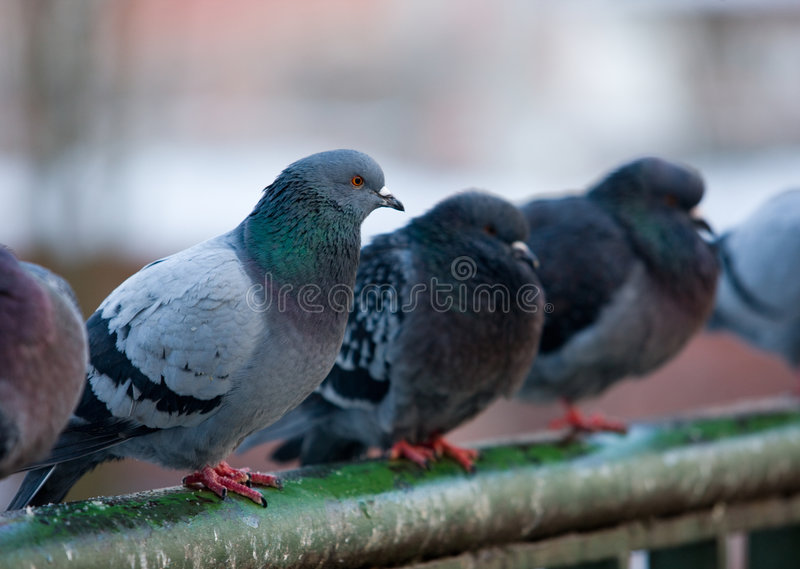 Download Pigeons on railings stock photo. Image of profile, animals - 8472544