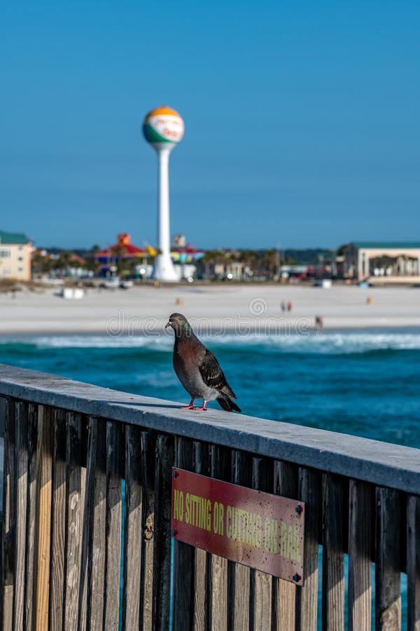 Pigeons resting on the railing of the pier with the Gulf of Mexico and Pensacola Beach in the background. Pensacola Beach, Florida, United States of America royalty free stock photos