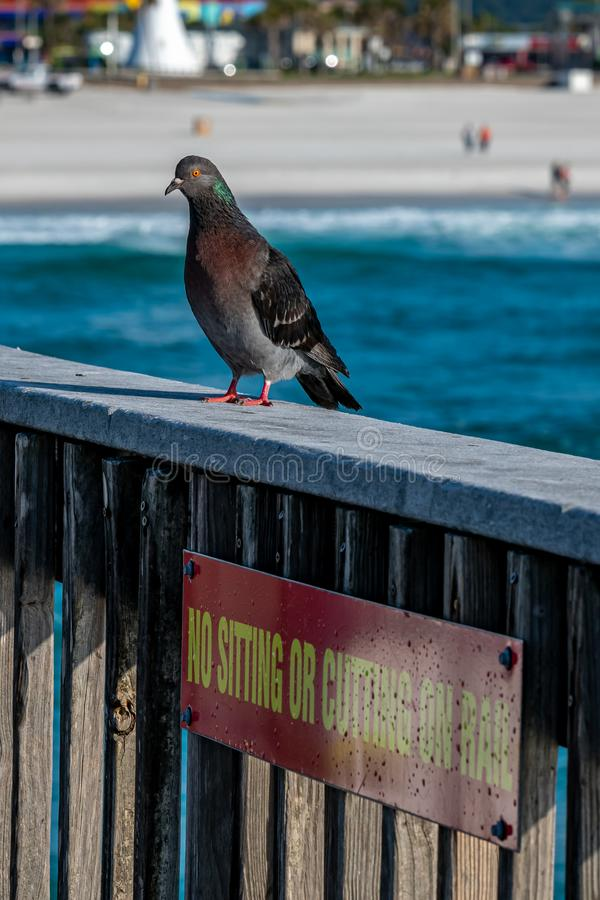 Pigeons resting on the railing of the pier with the Gulf of Mexico and Pensacola Beach in the background. Pensacola Beach, Florida, United States of America royalty free stock images