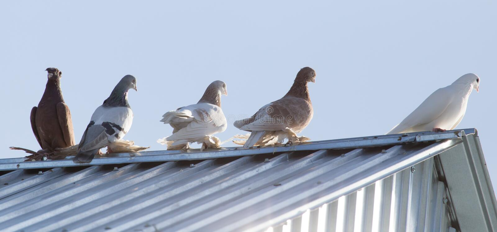 Pigeons on the roof stock image
