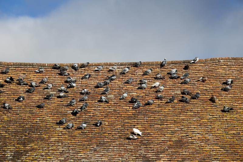 Pigeons roosting. Rock doves, or common pigeons, Latin name Columba livia, roosting on an old tiled roof stock photography