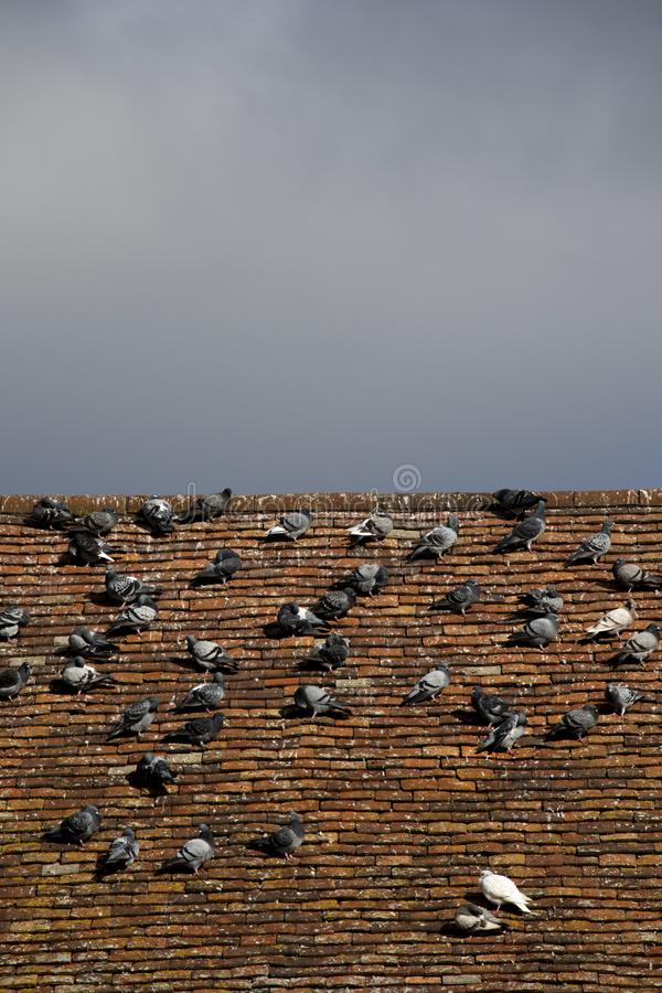 Pigeons roosting. Rock doves, or common pigeons, Latin name Columba livia, roosting on an old tiled roof stock photo