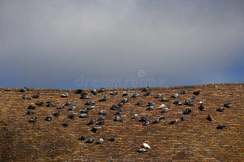 Pigeons roosting. Rock doves, or common pigeons, Latin name Columba livia, roosting on an old tiled roof royalty free stock images