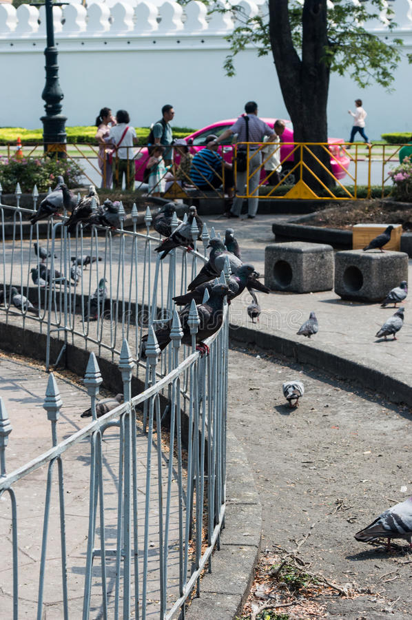 Pigeons in Sanam Luang Bangkok, Thailand stock photos