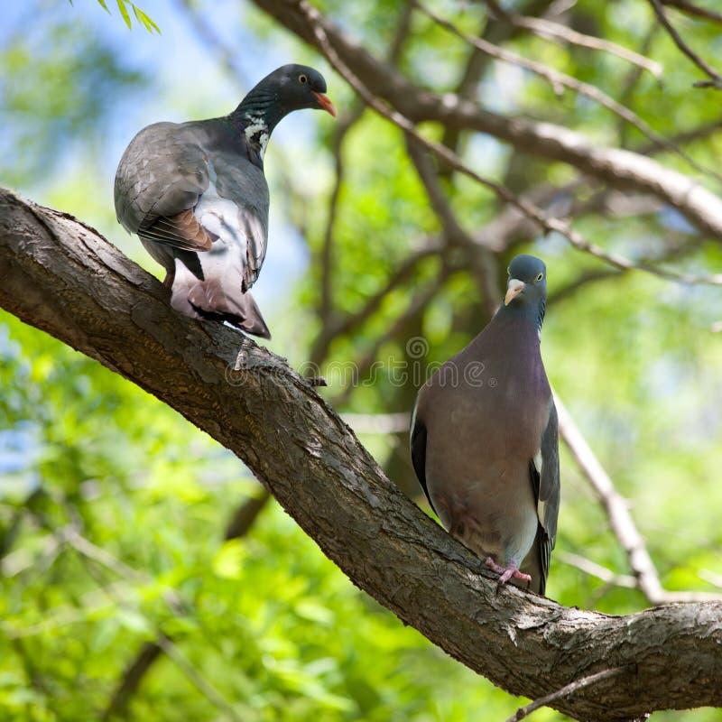Pigeons sauvages (Streptopelia) image libre de droits