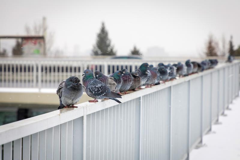 Pigeons se reposant sur la balustrade d'un pont de Nusle un jour d'hiver, Prague photos stock