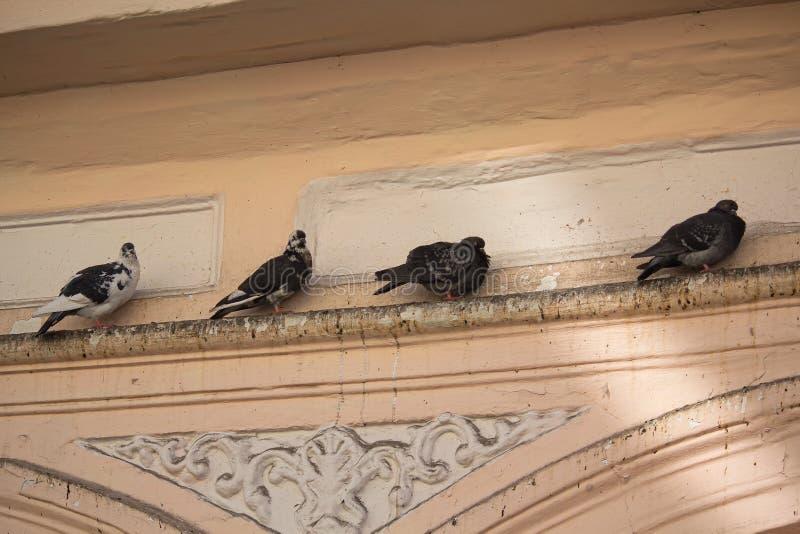 Pigeons se reposant sur le rebord d'un vieux bâtiment photos stock