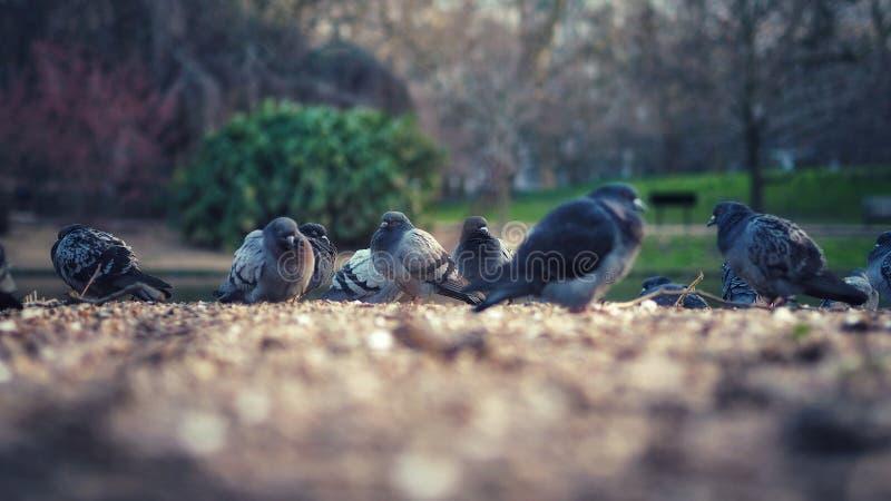 Pigeons sentant le froid images libres de droits
