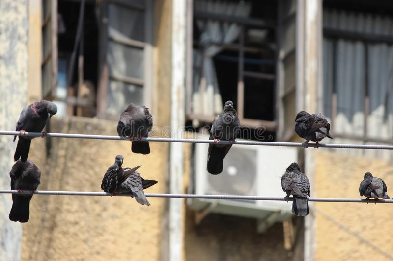Pigeons on electric wires royalty free stock photo