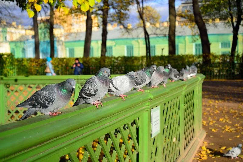 Pigeons sit on the fence of the Karpiev pond in the Summer Garden in autumn. St. Petersburg stock images