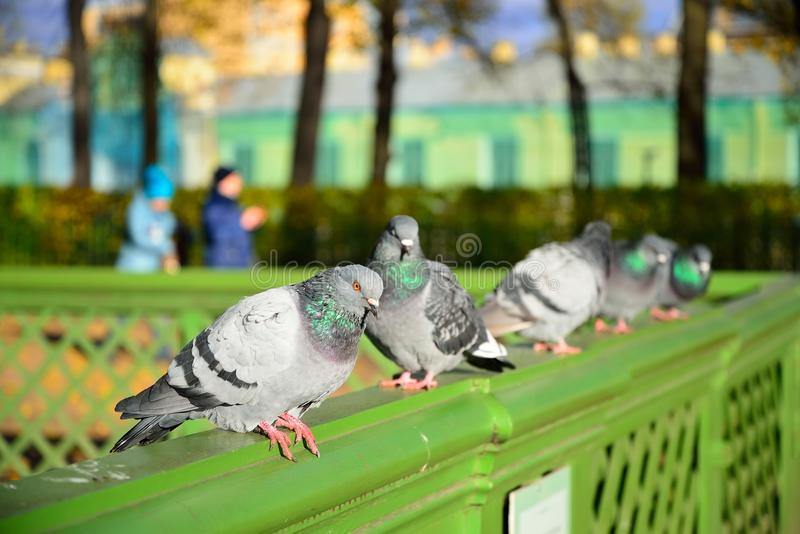Pigeons sit on the fence of the Karpiev pond in the Summer Garden in autumn. St. Petersburg royalty free stock photography