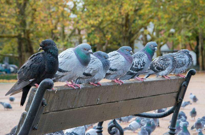 Pigeons sitting on a city park bench on a rainy windy day. stock photo