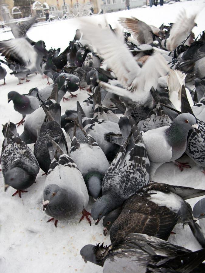 Pigeons in snow stock photo