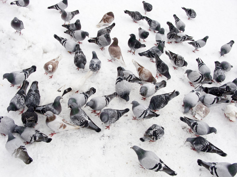 Download Pigeons in snow stock photo. Image of pigeon, animal, cold - 7178526