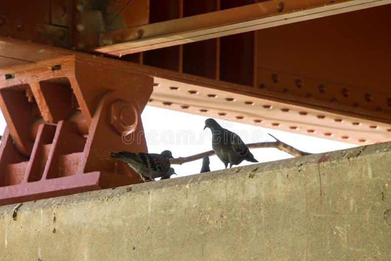 Pigeons sous un pont images libres de droits