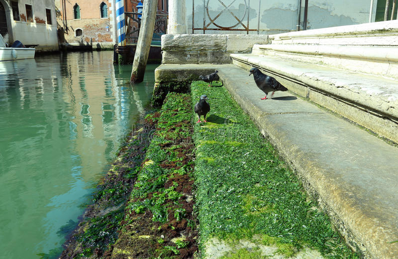 pigeons on the stairs covered with algae along a canal during lo stock image